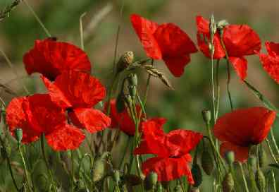 poppies 396SX